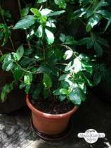 Mountain Coffee (Coffea arabica) #0