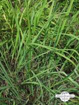 Lemon grass (Cymbopogon flexuosus) #3
