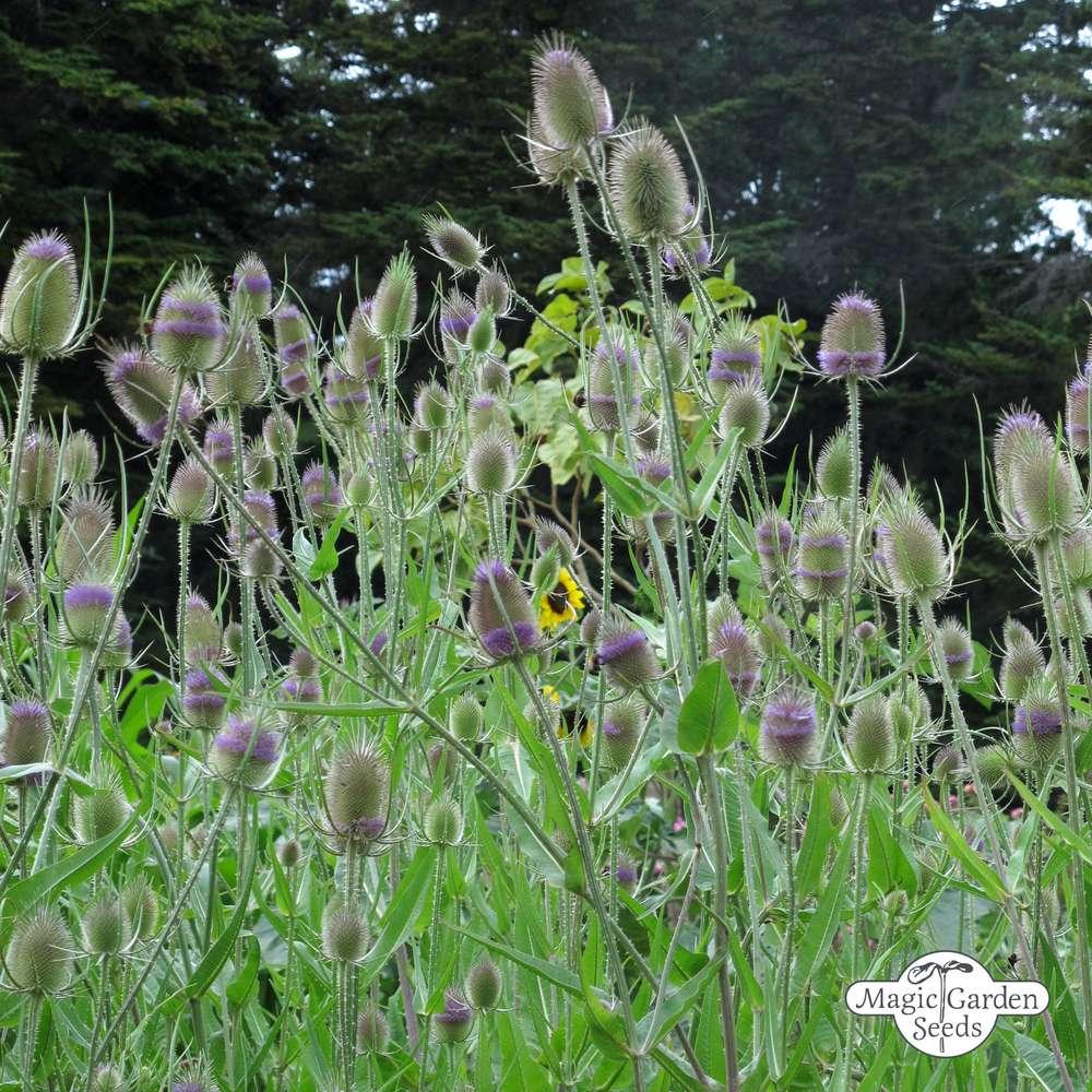Dipsacus fullonum Saatgut Wilde Karde Wild Teasel Seeds 50+ Samen