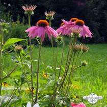 Purple coneflower (Echinacea purpurea) - bulk quantity (10g / approx. 2000 seeds) #1