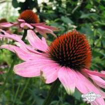 Purple coneflower (Echinacea purpurea) - bulk quantity (10g / approx. 2000 seeds) #2