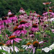 Purple coneflower (Echinacea purpurea) - bulk quantity (10g / approx. 2000 seeds) #3