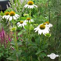 White hedgehog coneflower (Echinacea purpurea) organic #2