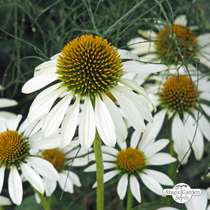 White hedgehog coneflower (Echinacea purpurea) organic #0