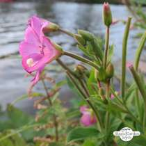 Great Hairy Willowherb (Epilobium hirsutum) organic #0