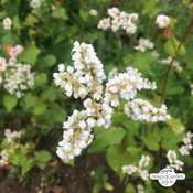 Common Buckwheat (Fagopyrum esculentum) organic