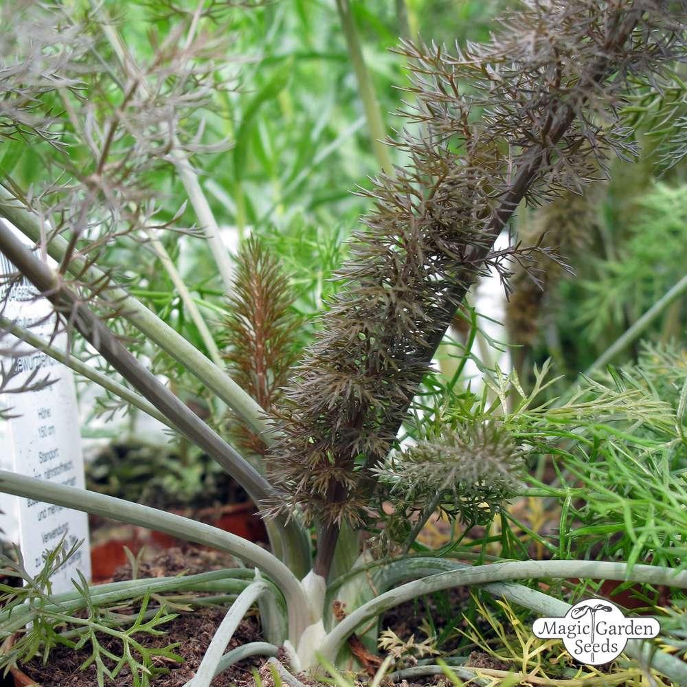 Bronze Fennel Foeniculum Vulgare Purpureum Medicinal