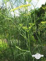 Sweet herb fennel 'Dulce' (Foeniculum vulgare) conventional - bulk quantity (100g / 50000 seeds) #1