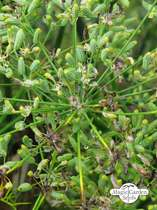 Sweet herb fennel 'Dulce' (Foeniculum vulgare) conventional - bulk quantity (100g / 50000 seeds) #2