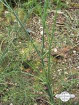 Sweet herb fennel 'Dulce' (Foeniculum vulgare) conventional - bulk quantity (100g / 50000 seeds) #4