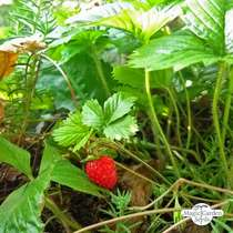 Wild Strawberry (Fragaria vesca) organic #1