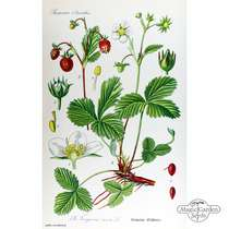 Wild Strawberry (Fragaria vesca) organic #2