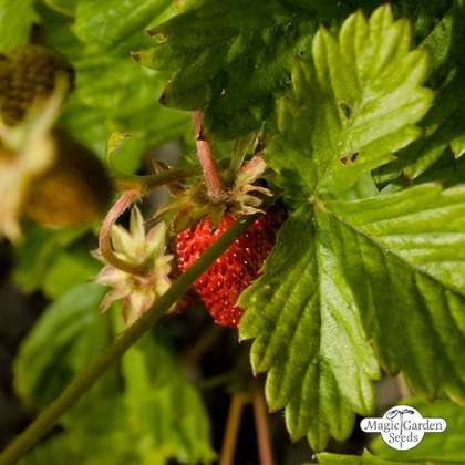 Wild Strawberry (Fragaria vesca) organic