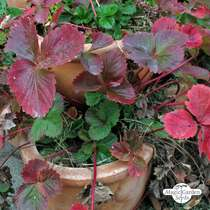 Alpine strawberry (Fragaria vesca var. semperflorens) conventional - bulk quantity (1g / 4000 seeds) #3