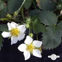 Wild Strawberry (Fragaria vesca) #1