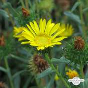 Great Valley Gumweed (Grindelia robusta) organic