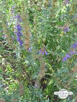 Hyssop (Hyssopus officinalis) conventional - bulk quantity (10g / 6000 seeds) #2