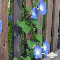 Morning glory 'Heavenly Blue' (Ipomoea tricolor) #1