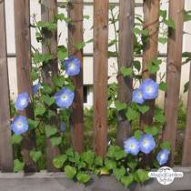 Morning Glory 'Heavenly Blue' (Ipomoea Tricolor) #3