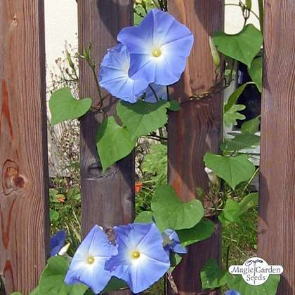 Morning glory 'Heavenly Blue' (Ipomoea tricolor)