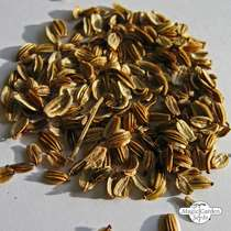 Lovage (Levisticum officinale) - bulk quantity (10g / approx. 3000 seeds) #4