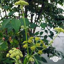 Lovage (Levisticum officinale) #2