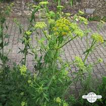 Lovage (Levisticum officinale) #3
