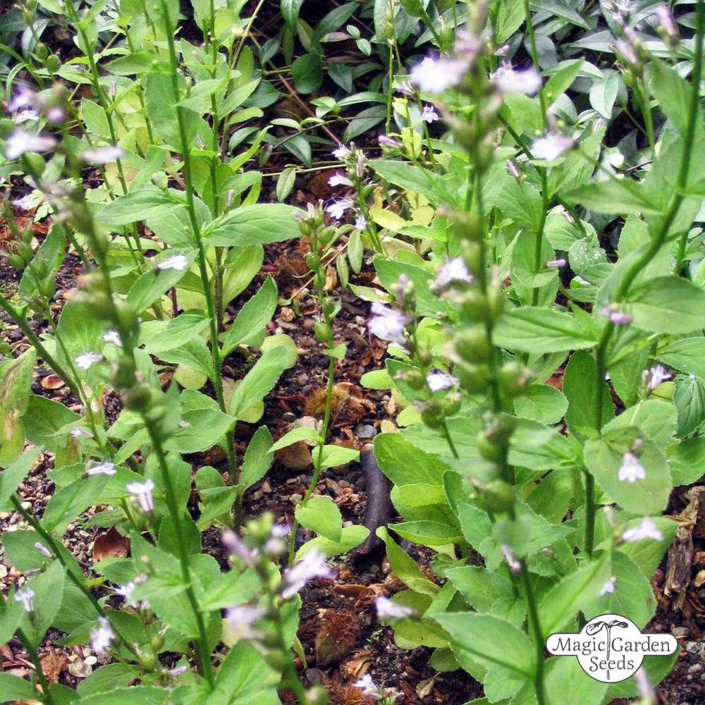 Indian Tobacco Lobelia Inflata The Unique Exotic Plants