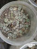 Peyote (Lophophora williamsii) #2