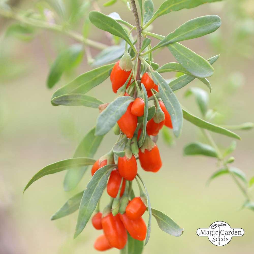Boxthorn Goji Berry Lycium Barbarum The Delicious Fruits