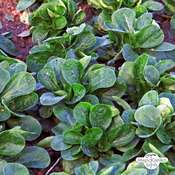 Lamb's lettuce, corn salad 'Dark Green Full Heart' (Valerianella locusta)
