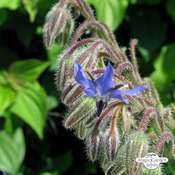 Borage (Borago officinalis) seeds