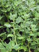 New Zealand spinach, Botany Bay spinach (Tetragonia tetragonioides)