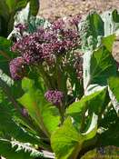 Purple sprouting broccoli (Brassica oleracea var. italica)