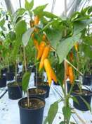 Shipka Chili Pepper 'Bulgarian Carrot' (Capsicum annuum)