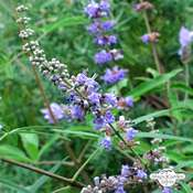 Monk's pepper, chasteberry (Vitex agnus-castus)