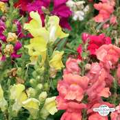 Common snapdragon (Antirrhinum majus) organic