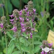 Betony, Common Hedgenettle (Betonica officinalis) organic