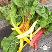 Colourful Swiss chard 'Five Colours' (Beta vulgaris ssp.vulgaris) organic