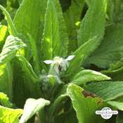 White borage 'Alba' (Borago officinalis) organic
