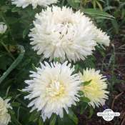 China aster (Callistephus chinensis) organic