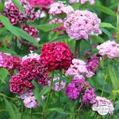 Sweet William (Dianthus barbatus) organic