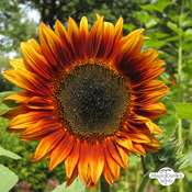 Sunflower 'Velvet Queen' Helianthus annuus) organic