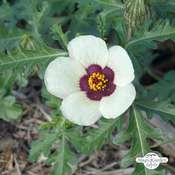 Flower-of-an-hour, bladder hibiscus (Hibiscus trionum) organic