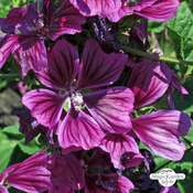 French hollyhock, tree mallow (Malva sylvestris ssp.mauritiana) organic