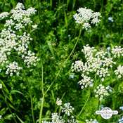 Anise, aniseed (Pimpinella anisum)