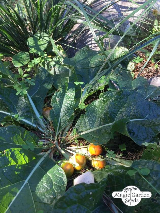 15 mandrake seeds Alraune Mandragora autumnalis 15 graines de mandragore