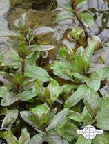 Watermint (Mentha aquatica) #0