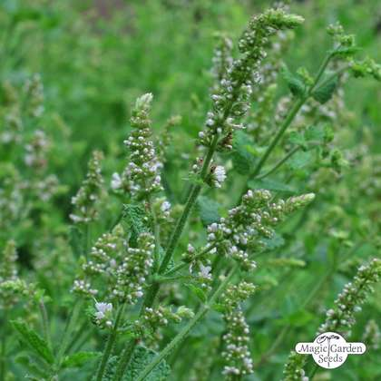 Round leaved mint, Egyptian mint (Mentha suaveolens) organic