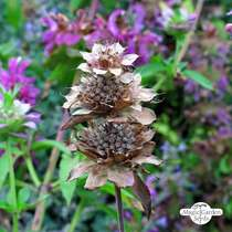 Indian mint (Monarda citriodora) #2